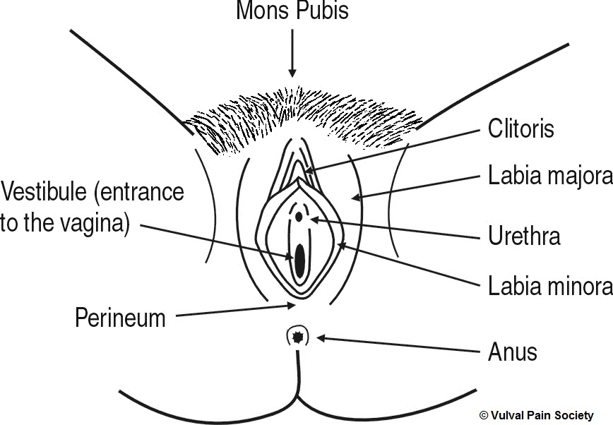 Diagram of the vulva, showing the different parts labelled